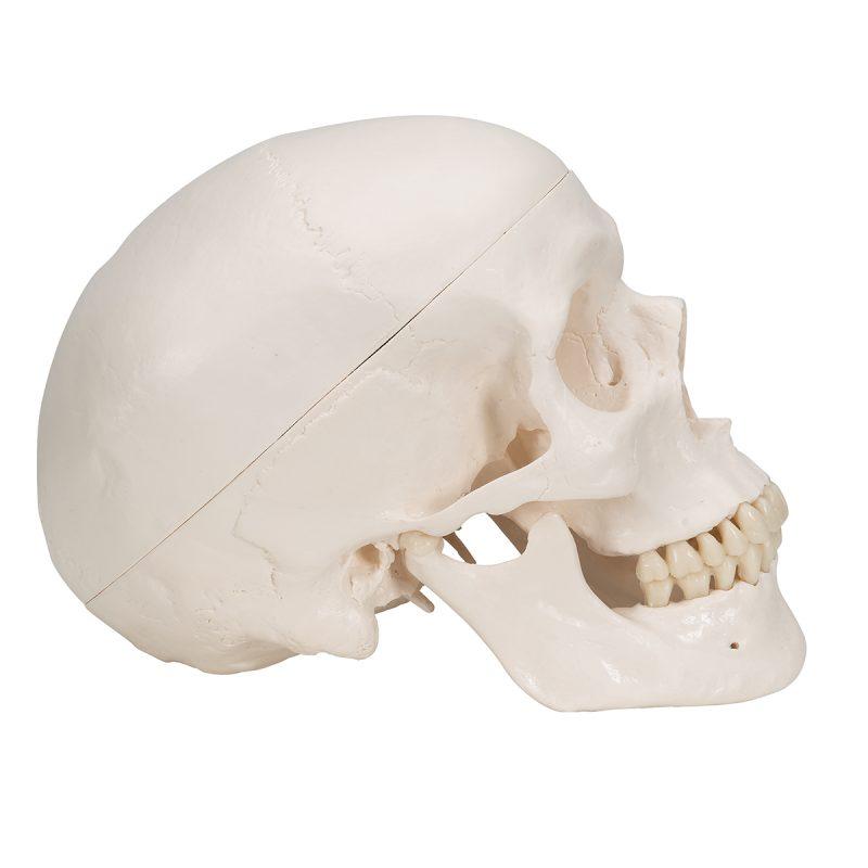 Ljudska lubanja (A20)