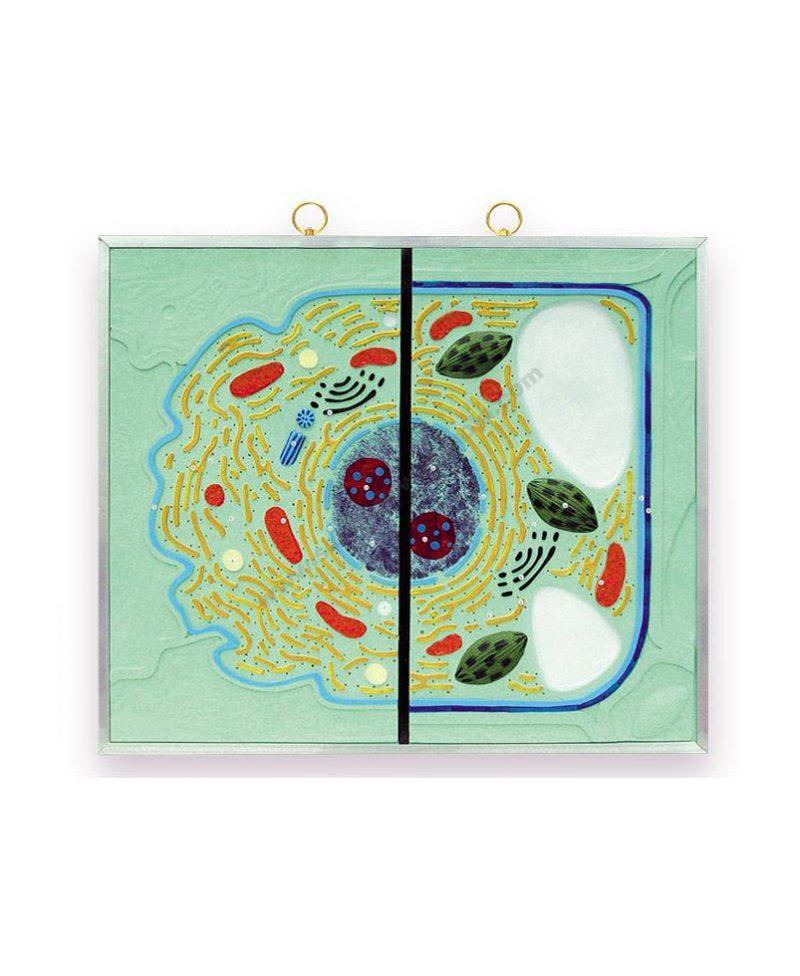Usporedni grafikon životinjske i biljne stanice