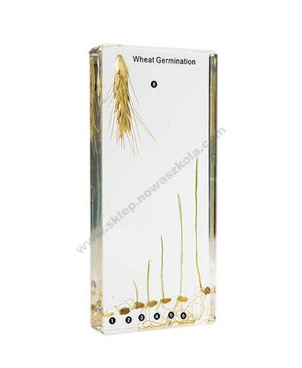 Model klijanja pšenice