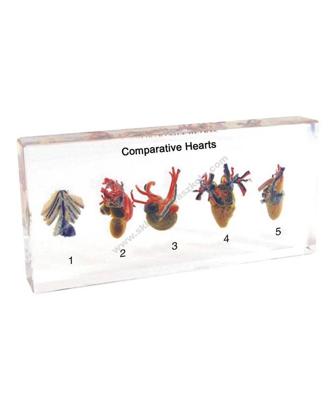 Komplet poprečnih presjeka životinjskog srca u pleksiglasu
