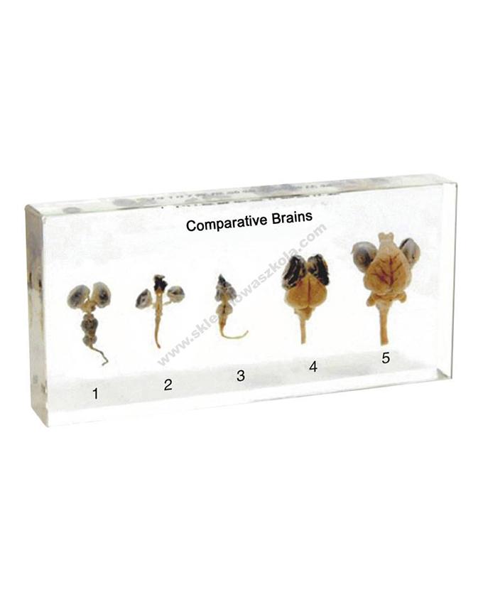 Komplet poprečnih presjeka životinjskog mozga u pleksiglasu UK0603